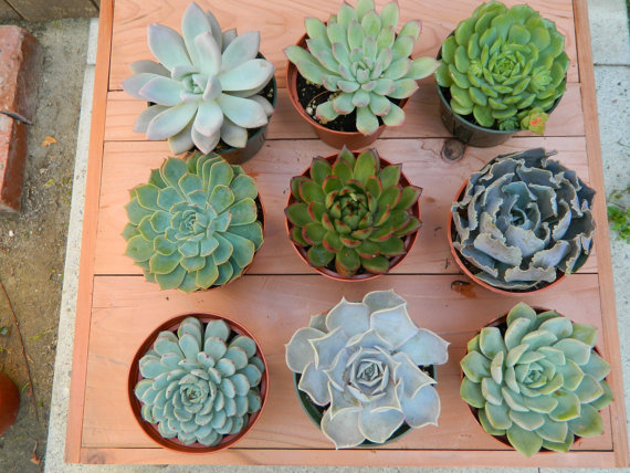 A Selection of Succulents & Cactus Plants- Individually Priced