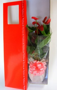 Potted Anthurium,In a Presentation Box